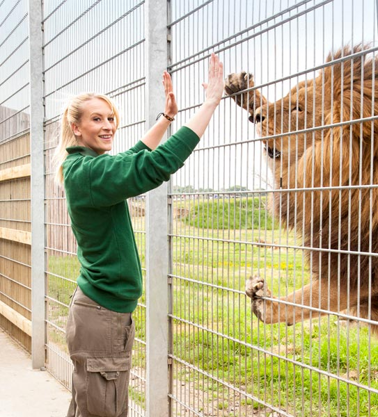 a animal keeper putting her hand up to touch paws with a lion on the other side of the fence.